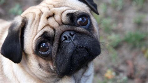 cutest pug 1280x720 pug desktop pc and mac wallpaper