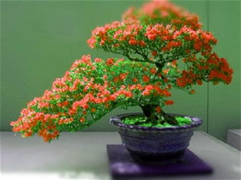 Pupuk Untuk Bunga Bonsai cara membuat bonsai bunga kertas bougenville pakar