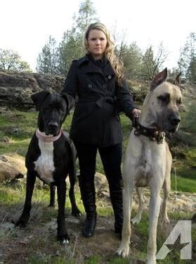 great dane puppies for sale indiana great dane puppies for sale in keswick california classified americanlisted