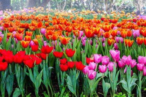 fiori aprile fiori di aprile trionfo di colori nei nostri giardini
