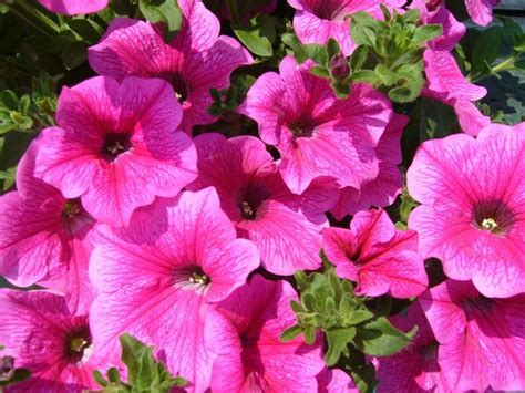 fiore surfinia surfinia variet 224 piante annuali variet 224 di surfinia