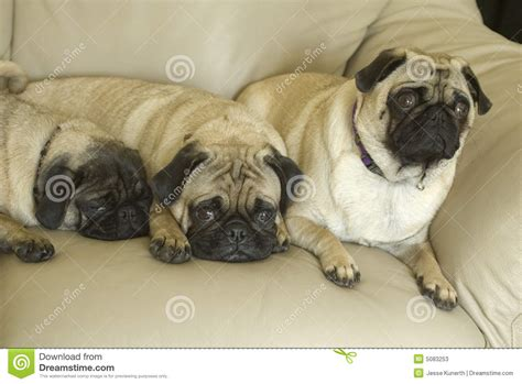 Three Pug Dogs On Couch Stock Photos Image 5083253