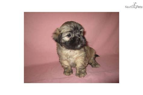 lhasa apso puppies for adoption lhasa apso puppy for sale near southeast missouri missouri 62c66509 1361