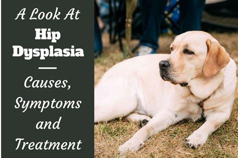 hip dysplasia golden retriever hip dysplasia and labradors what you need to
