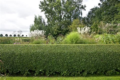 privet hedges growing tips for ligustrum shrubs