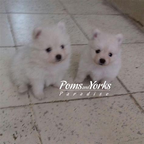 pomeranian en espanol criadero de pomeranian en guadalajara criadero de pomeranian en mexico perros