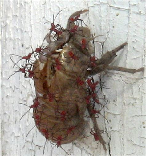 bed bug exoskeleton immature hemipterans on cicada exoskeleton what s that bug