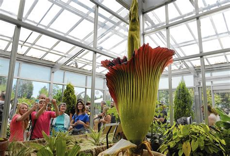 Botanical Gardens Corpse Flower Corpse Flower Mania Is In Bloom In Denver La Times