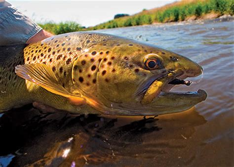 pa fish and boat fines pennsylvania s finest may trout streams game fish