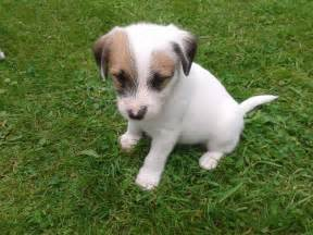 Parsons jack russell x tibetan terrier puppies southampton