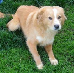 sheepdog mixed with golden retriever die besten 25 golden retriever mischling ideen auf goldener dachshund