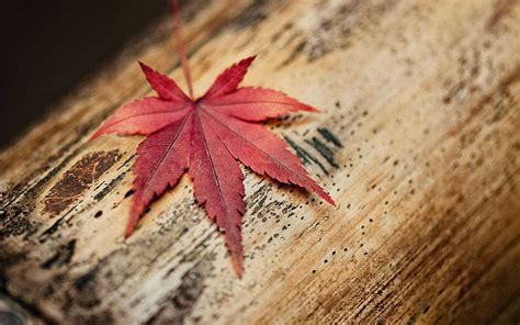 maple leaf leaves daun maple fakta menarik daun maple di serial drama korea goblin