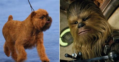 national show 2017 chewbacca lookalike wins 2017 national show my friend is a