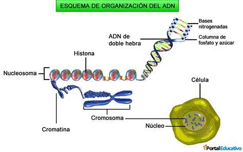 humanos con 3 cadenas de adn organizaci 243 n del adn