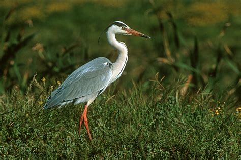 best 28 water birds of water birds of belize and