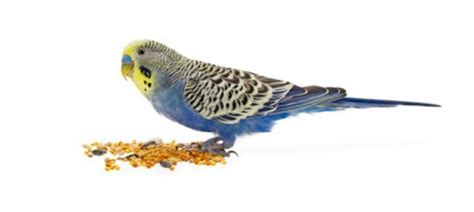 how can i get my parakeets to eat something other than seed