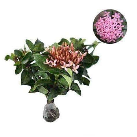 Tanaman Soka Merah Jepang jual tanaman soka pink jepang pink ixora bibit