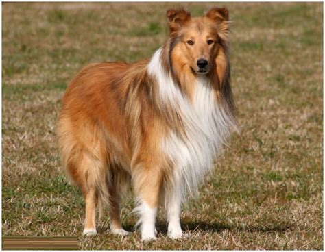 Smooth Collie Shedding by Collie Breed Puppies Breeds Picture