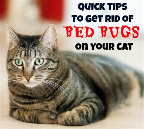 cats and bed bugs quick tips to get rid of bed bugs on your cat