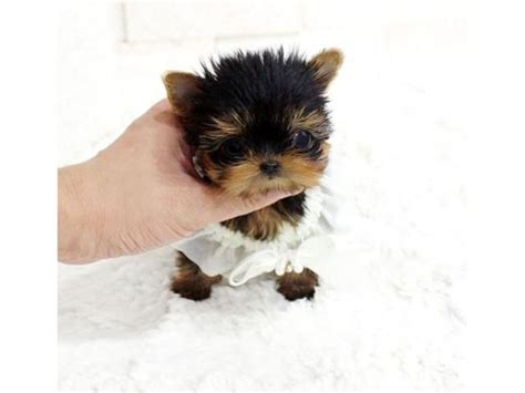 yorkie puppies for adoption in va best 25 yorkie puppies for adoption ideas on