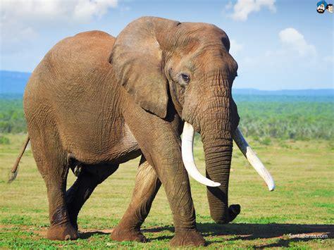 Elephants Wallpaper #10