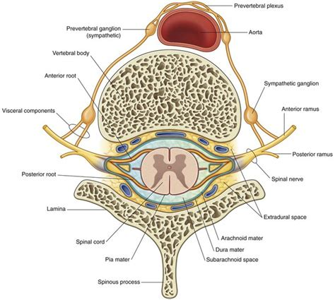 spinal cord transverse section back basicmedical key