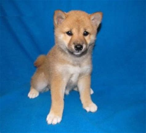 teacup shiba inu puppies for sale shiba inu puppies for sale