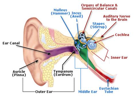 three main sections of the ear parts of ear what are the main parts of the ear socratic