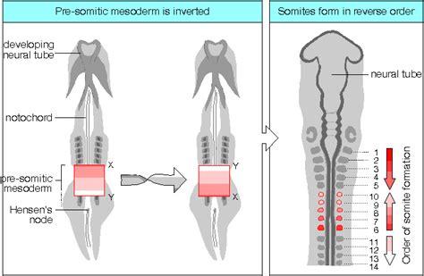 pattern formation chick biol3530 developmental biology patterning vertebrates ii