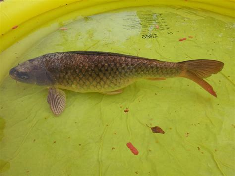 fish for sale various pond fish for sale sizes between 4 quot 27 quot newton