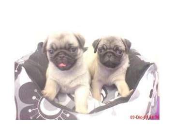 pugs for sale ta pug sale ireland pug puppies buy buy pug breeders pug dogs breed pug dogs for adoption