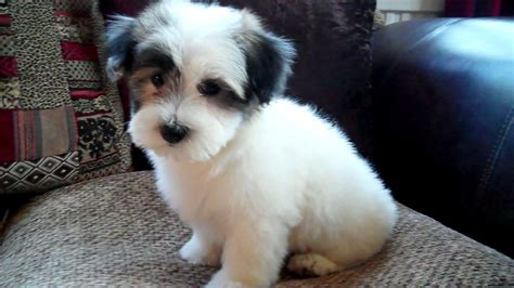 coton de tulear puppies beautiful coton de tulear puppy sleaford lincolnshire pets4homes
