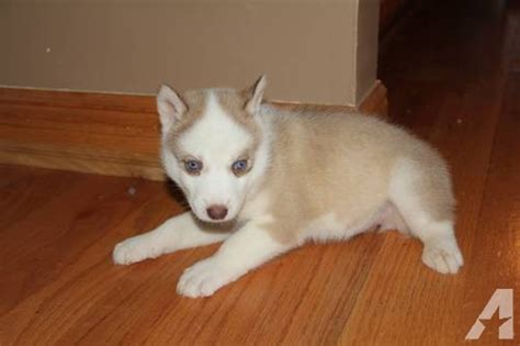 siberian husky puppies for sale in ky akc siberian husky puppies may trade in clarkson kentucky for sale breeds picture