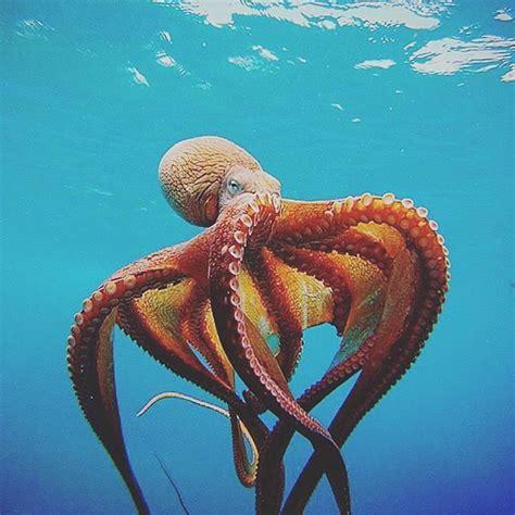 octopus l best 25 octopuses ideas on pinterest beautiful sea