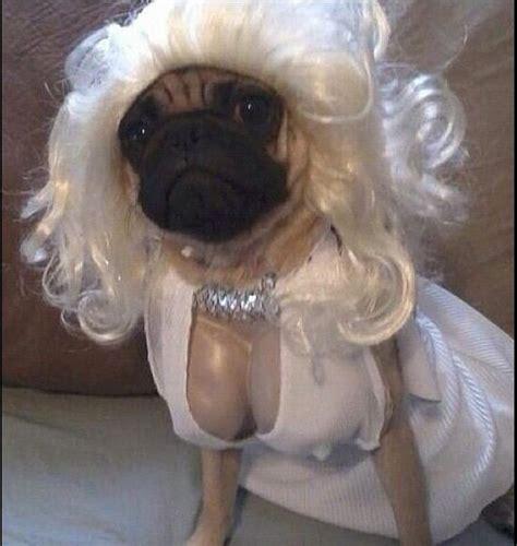costumes  prove pugs  win  halloween barnorama