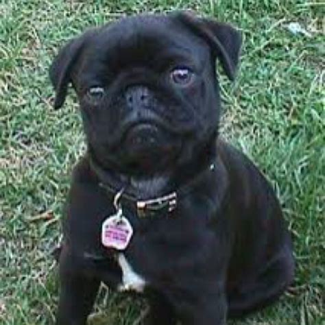 black pugs for sale in ma 1000 ideas about black pugs for sale on pugs for sale pug puppies for