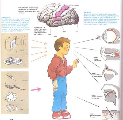 imagenes organos sensoriales cuerpo humano m 225 quina viviente 191 nuestro cuerpo es un