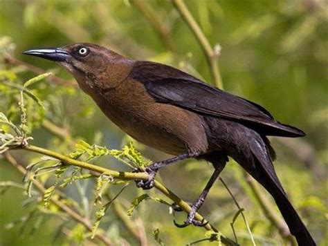 great tailed grackle adult female large  lanky