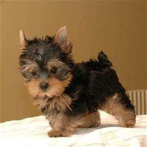 pocket yorkie puppies for sale miniature yorkie puppies springs breeds picture