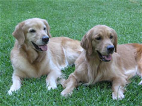golden retriever breeders dallas tx golden retriever breeders puppies dallas fort design bild