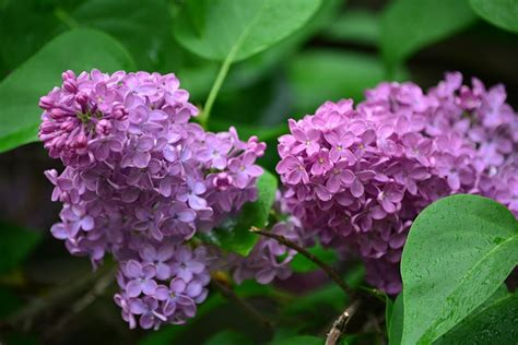 when to prune flowering shrubs it s time to prune your late flowering shrubs news