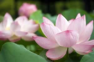 Vietnam Flowers - vietnamese flower images amp pictures becuo