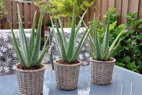 rekomendasi tanaman hias  mudah dirawat