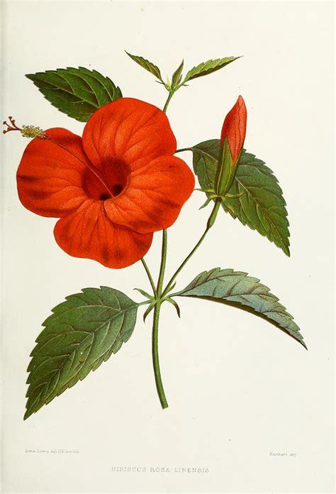 Hibiskus Rosa Sinensis 2087 original file 2 087 215 3 068 pixels file size 4 3 mb