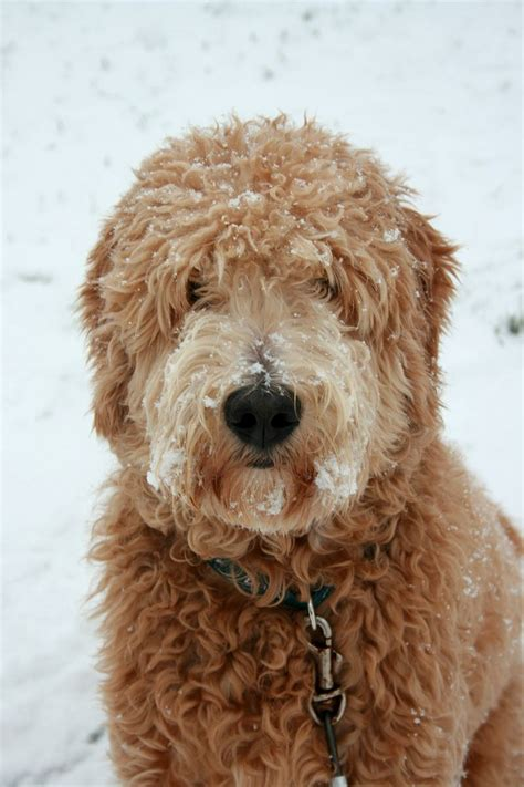 doodle hair styles 25 best ideas about goldendoodle haircuts on