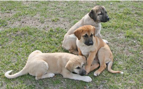 anatolian shepherd puppies for sale anatolian shepherd puppies for sale marble peaks ranch