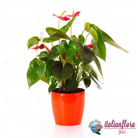consegna fiori vendita pianta di anthurium consegna a domicilio