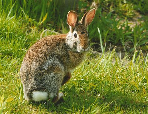 Dress Rabbit Kelinci practice caution with rabbits california outdoors q and a