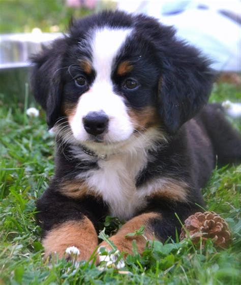bernese puppies resli the bernese mountain puppies daily puppy