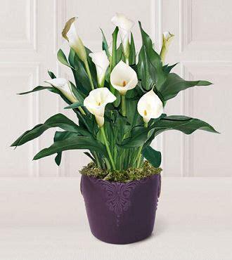 plants care calla lily care